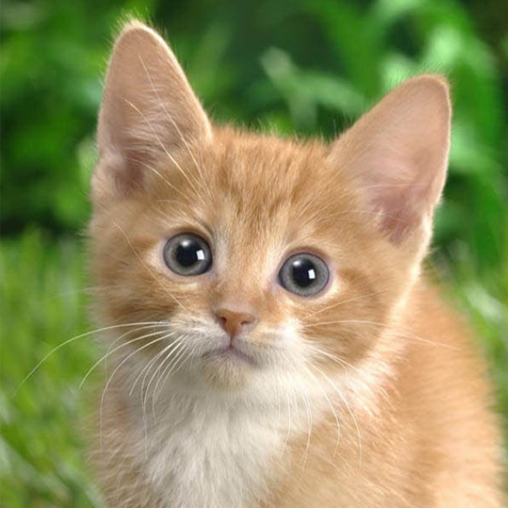 Kitten Cat Wallpapers Hd Retina Wallpapers And Backgrounds For Ios